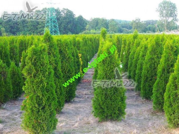 Thuja smaragd 200-220cm balot Dostawa gratis FV Tuja szmaragd 220cm