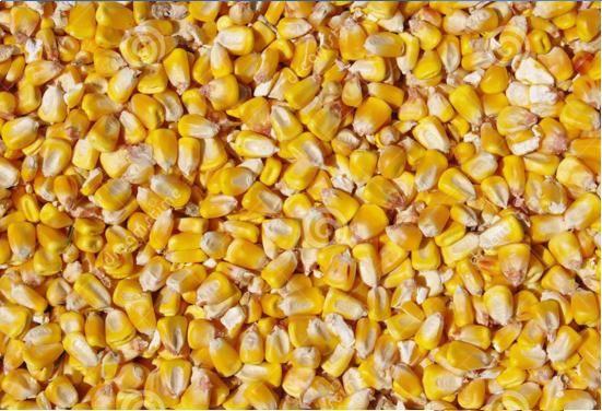 Kukurydza paszowa sucha