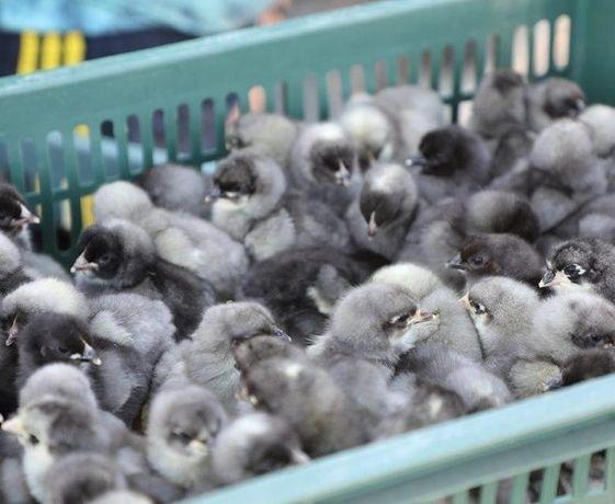 """Цыплята суточные """"Гриз Сендри"""", голубые, Венгрия - яичное направление!"""
