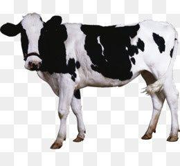 Продам  корову,тільна 6-им телятьом.Городоцький р-н 22000.