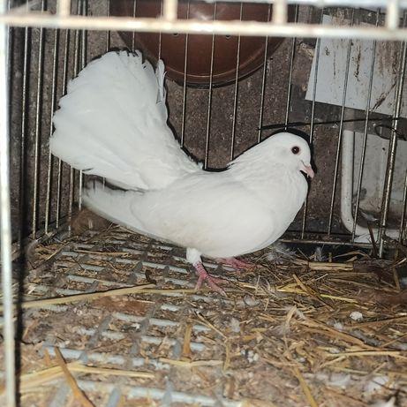 Gołębie pawiki pawik paw biały białe