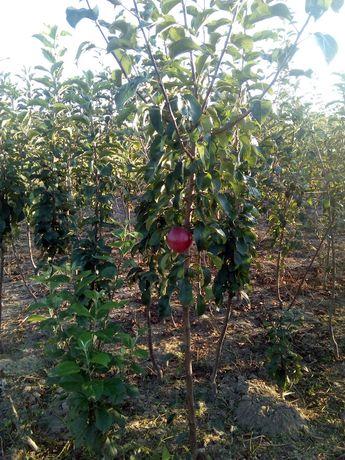 Саженцы яблонь  двулетние