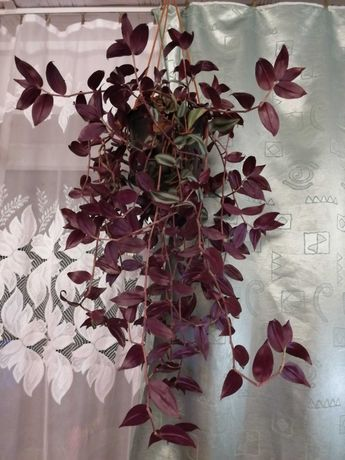 Kwiat domowy Trzykrotka