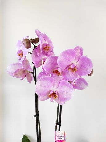 Орхідея фаленопсис, гортайте, пакування входить у вартість. Каріна, кі