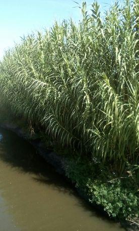 Бамбук,тростник.Отводки корней для посадки.