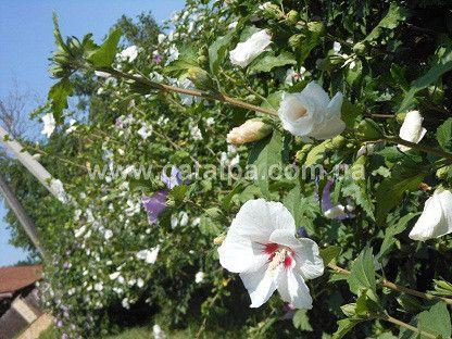 Гібіскус сірійський білий.Залишилось 2шт