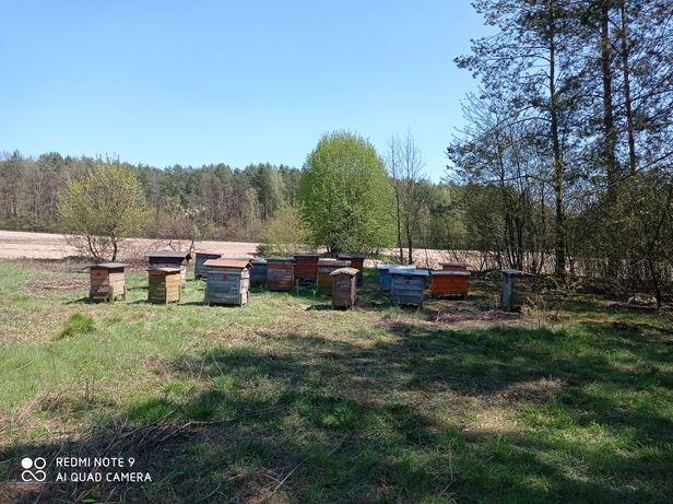 Rodziny pszczele pszczoły ule ulami pszczołami pszczoły