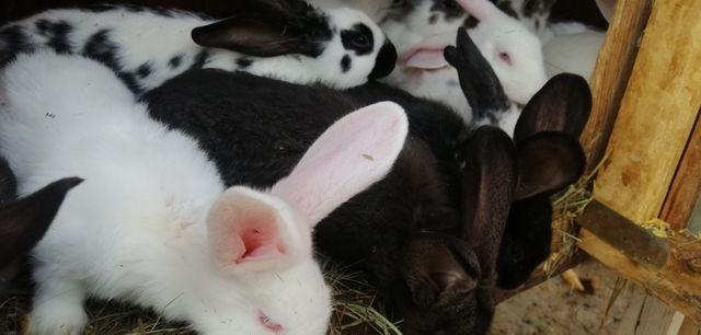 Mega okazja sprzedaż królików