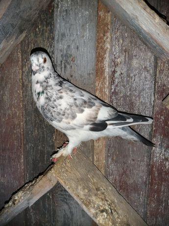 Budapeszt łapciaty samiec lub para , gołębie ozdobne