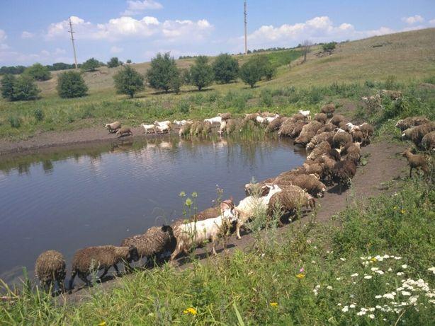 Бараны, овцы, овечки, козы