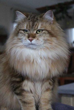 koty syberyjskie, syberyjskie,