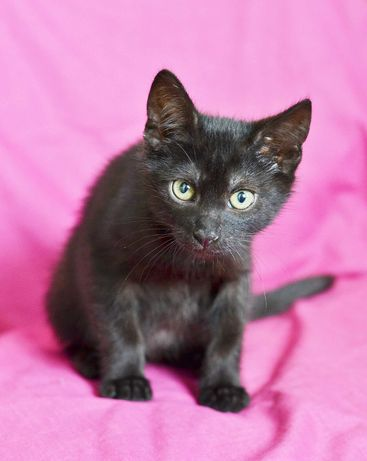 Красавчик Кузя, черный окрас, 2,5 месяца