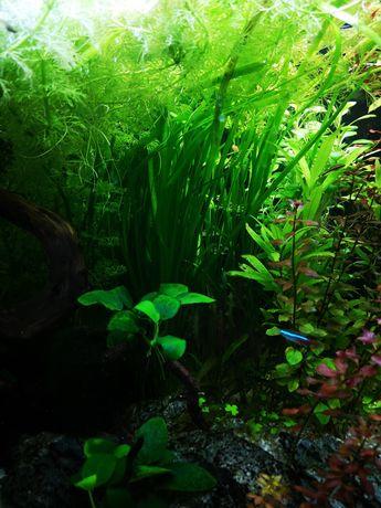 Nurzaniec wodny - Vallisneria