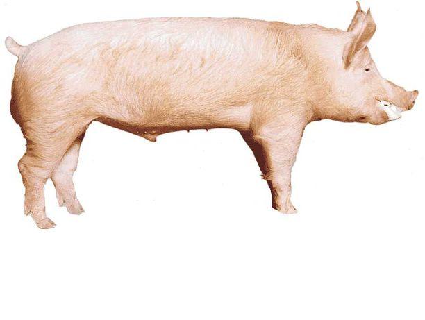 Porcos grandes capados