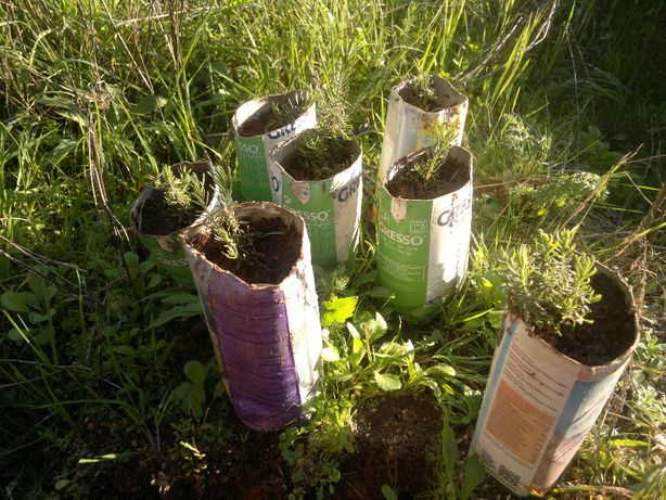 Planta Rosmaninho