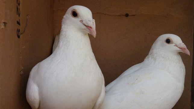 Sprzedam gołębie białe