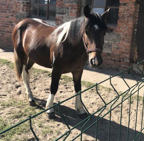 Koń typ pogrubiony maść gniadosrokata