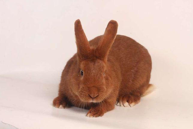 królik króliki Czerwony nowozelandzki