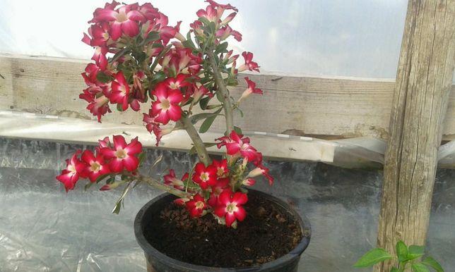 rosa do deserto plantas e sementes