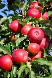 Drzewka owocowe krzewy owocowe