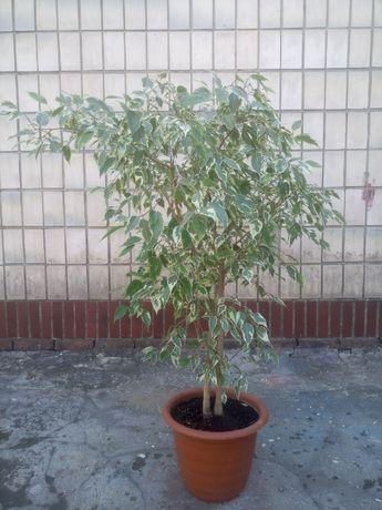 Продам Фикус Бенджамина (Ficus benjamina) сорт Кинки (Kinky)
