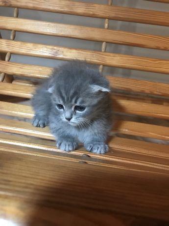 Плюшевые породистые котята