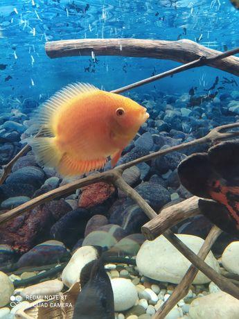 Северум самка, аквариум 50 л. и малавийцы