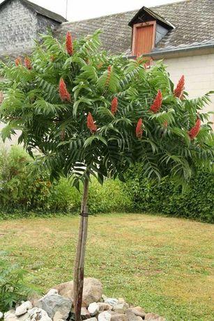 Уксусне дерево(сумах оленерогий)