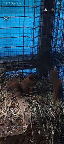 Wiewiórki Hudsona