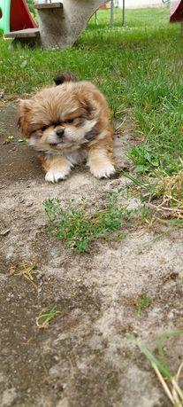 Piesek pekińczyk