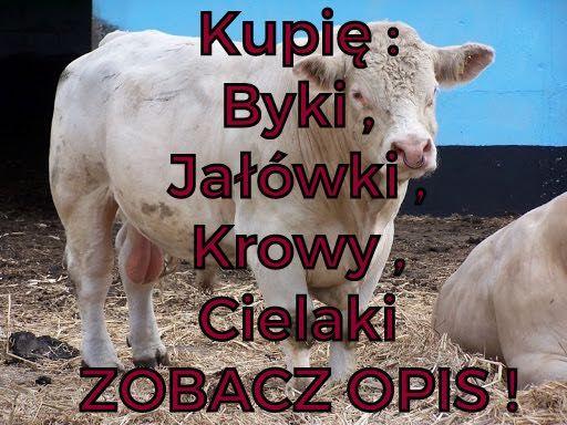 Jałówki, Byki , Krowy