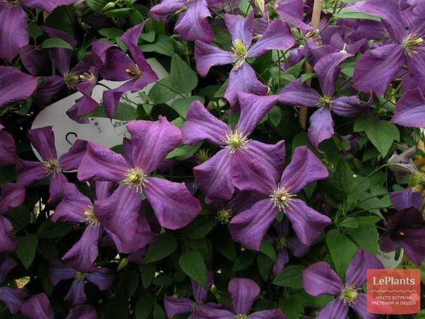 Продаю цветы Клематис