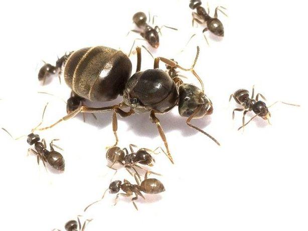 Mrówki Królowa lasius niger + duża ilość robotnic