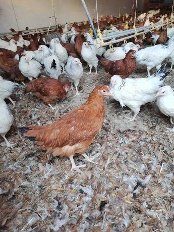 Kury, kurki, młode nioski na jajka