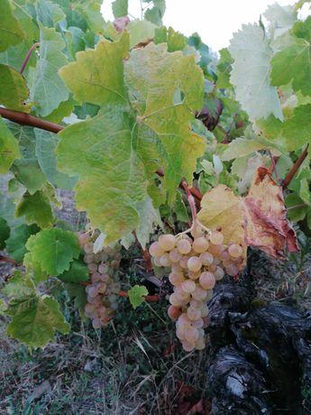 Uvas para fazer vinho