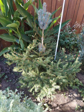 Хвойные растения, туя, ель, кипарисовик, можжевельник