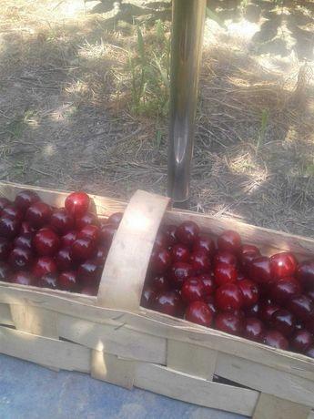 Sprzedam smaczne świeże wiśnie