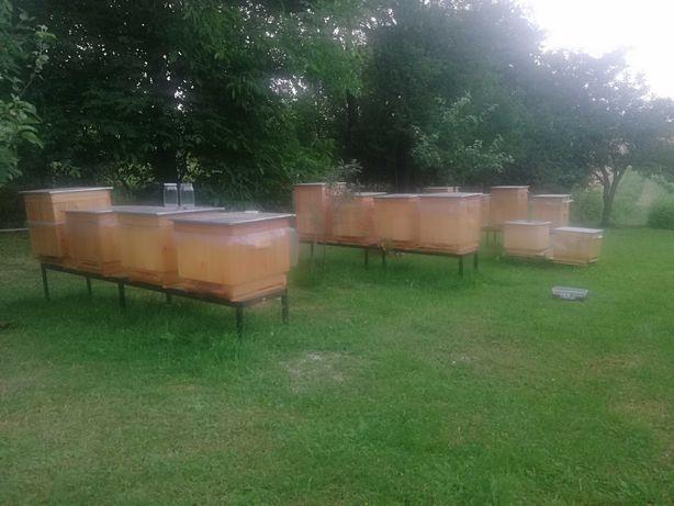 Pszczół na ulach wielkopolskich