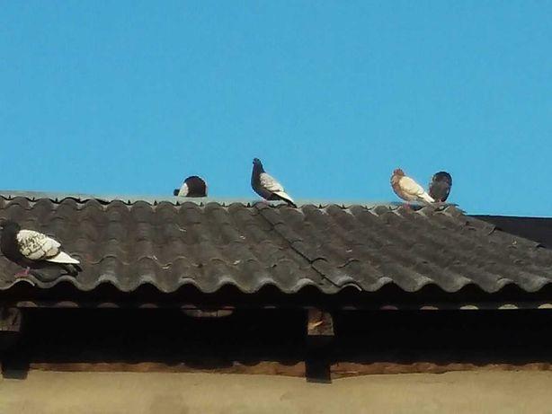gołębie, oddam za darmo