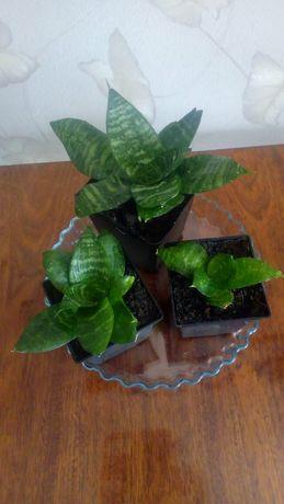 Сансевиерия лиственная