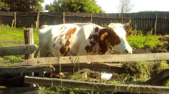 Продам дойну корову