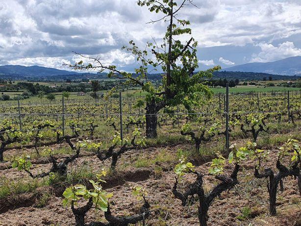 Uva de Vinho Tinto e Branco