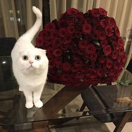Белый котик хайленд фолд