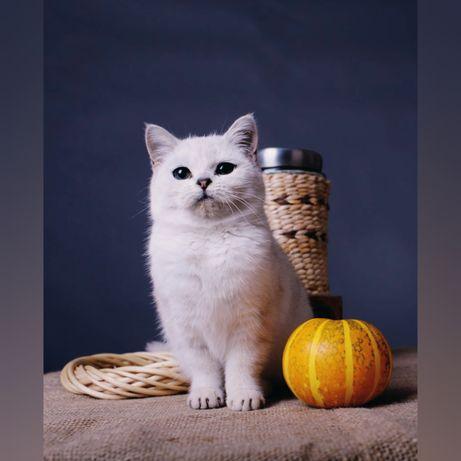 Котенок британской серебристой шиншиллы. Девочка.