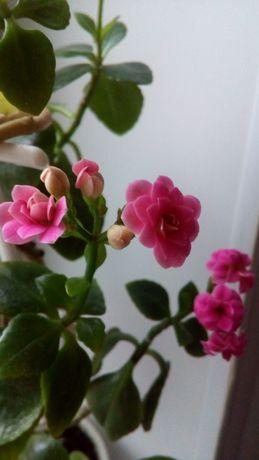 Растение комнатное цветущее Каланхоэ в горшке