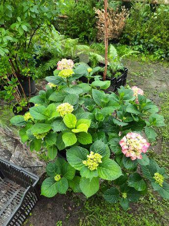 Hortensja ogrodowa różowa - wysokość 50 cm