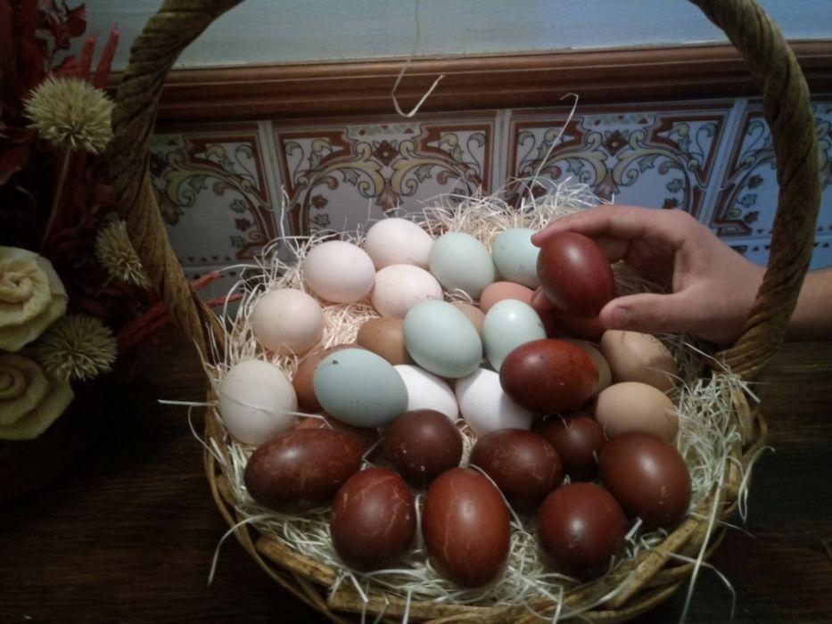 Ovos coloridos de varias raças de galinhas(para incubaçao) Pinhal Novo - imagem 1