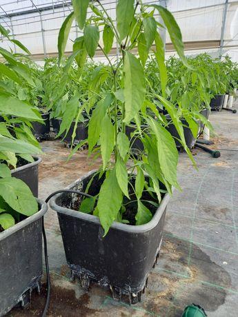 Planta de Malagueta