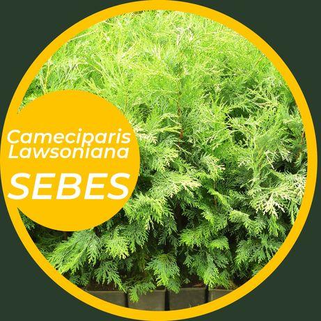 Cameciparis Lawsoniana SEBES