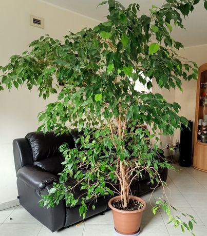 Roślina doniczkowa, ozdobna Ficus beniamina (Fikus Beniamin)